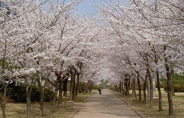 cherry-blossoms-553579_1280-new